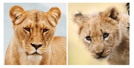pigg_lion